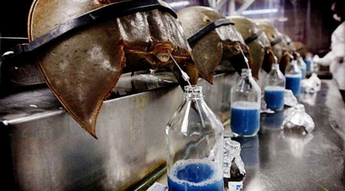 The Blue Blood of a Horseshoe crab is Precious