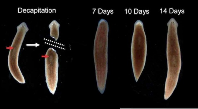 cloning a planarian worm