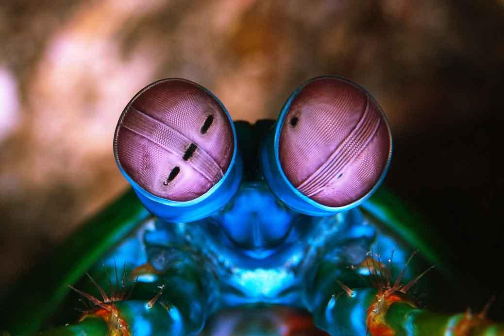 Image result for mantis shrimp eyes