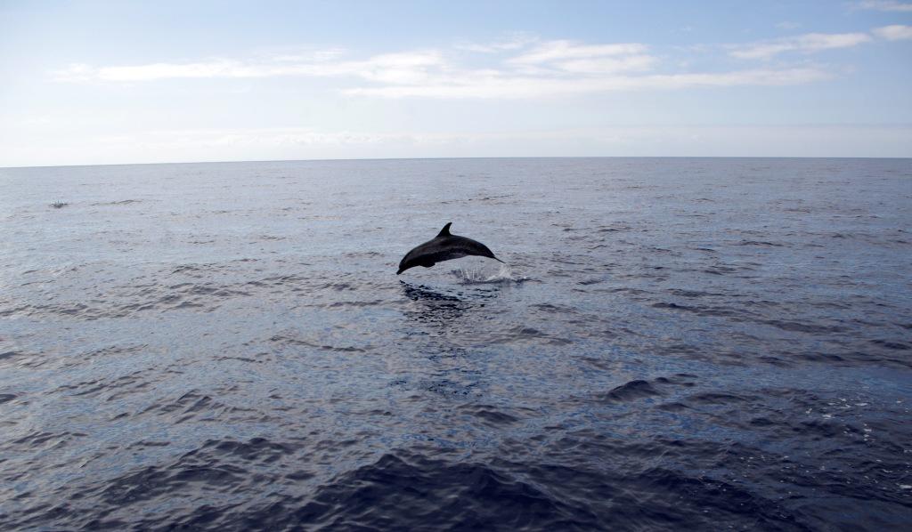 Madeira Teil 9: Abgehakt auf der Lebensliste, Dolphin Watching!