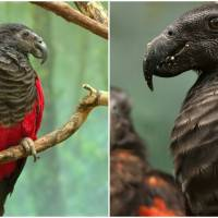 Meet The Dracula Parrot The Mesmerizing Bird Of The New Guinea