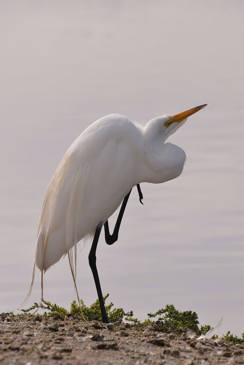 great-egret_9602