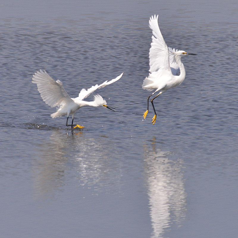snowy-egret_1627