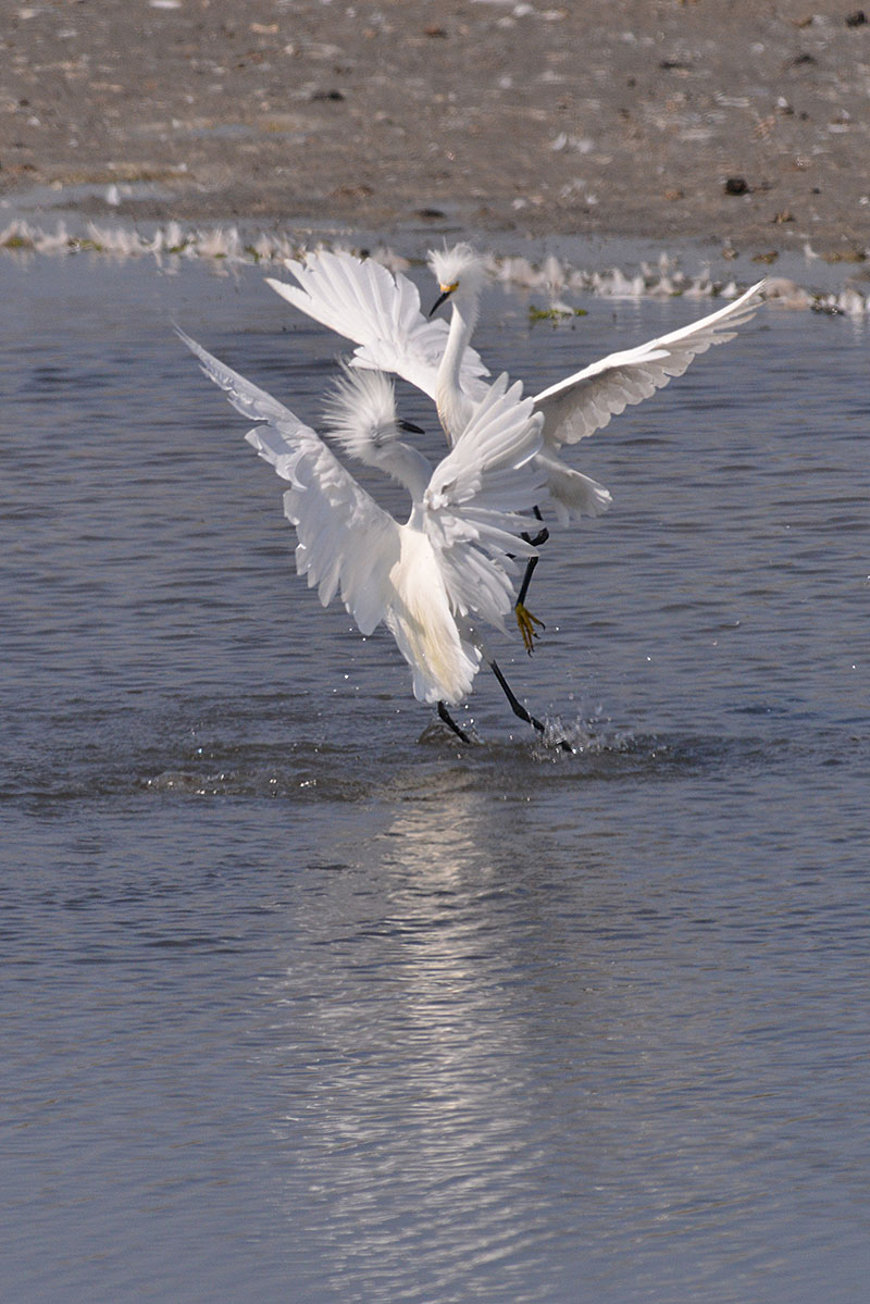 snowy-egret_1629