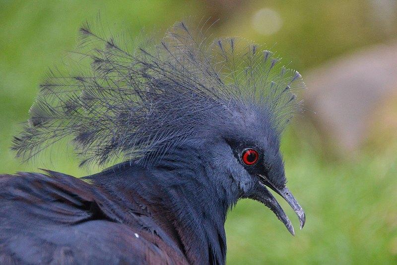 Blue Crowned Pigeon width=