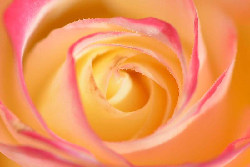 rose_9406