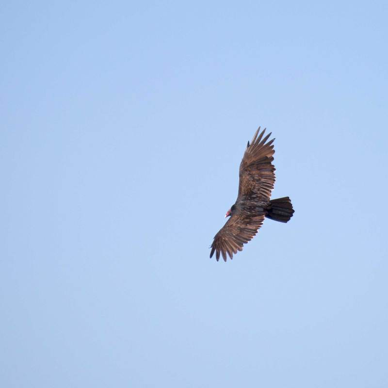 turkey-vulture_2844