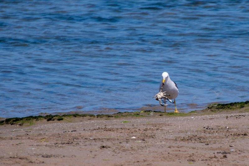 Seagull v. Crab