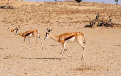 The Spectacular Springbok