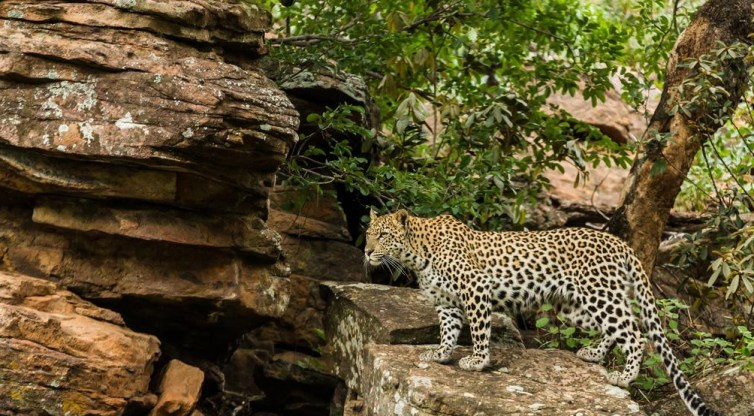 A leopard standing on a rock  Description automatically generated