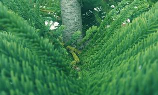 Pins pine