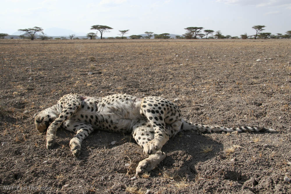 What Killed the Cheetah  African Wildlife Foundation