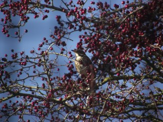 A visiting fieldfare outside my window