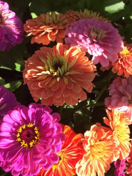 zinnias-always-make-me-giddy-with-delight