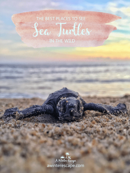 The Best Places To See Sea Turtles In The Wild #naturetravel #greatbarrierreef #hawaii #costarica #mozambique #oman