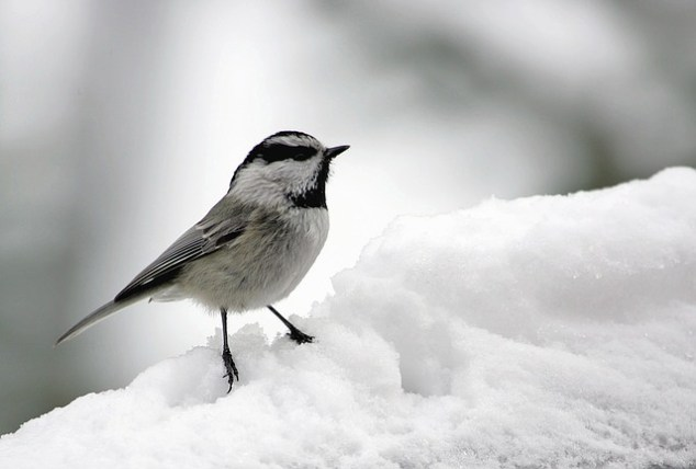 Walk the Beauty Way, bird in snow