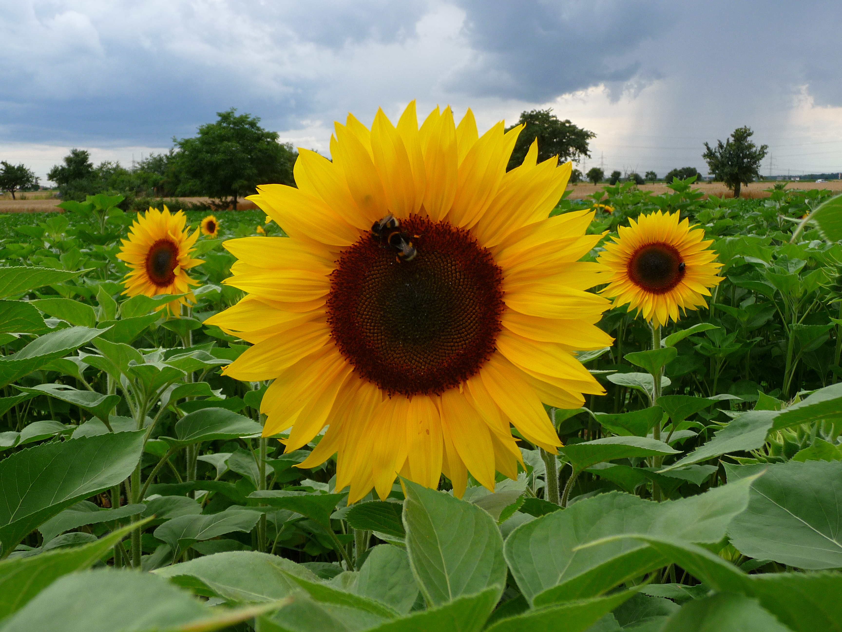 Sunflowers – Awkward Botany
