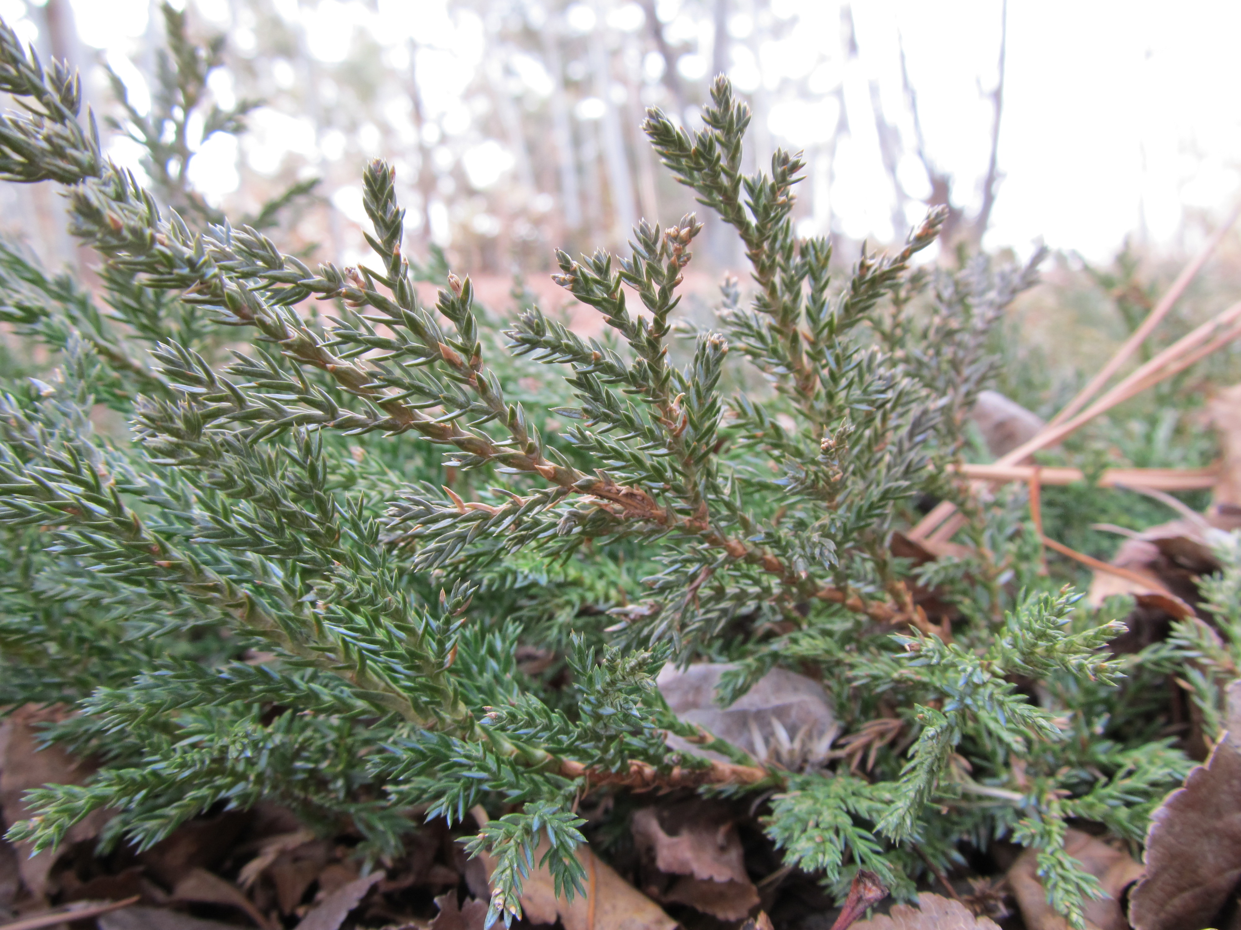 Drought Tolerant Plants The Junipers  awkward botany