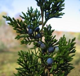 Eastern Redcedar (Juniperus virginiana)