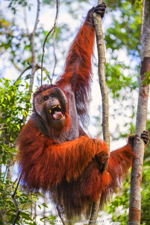 Indonesia, Central Kalimatan, Tanjung Puting National Park. A large male Bornean Orangutan with distinctive cheek pads yawns while hanging in a tree.