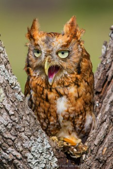 Kendall County, Texas, USA. Eastern Screech-Owl (Otus Asio) red morph eating grasshopper. Captive animal.