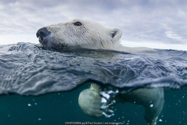 Canada, Nunavut Territory, Repulse Bay, Underwater view of Polar Bear (Ursus maritimus) swimming in Hudson Bay near Harbor Islands