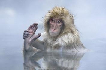 Japanese Macaque (Macaca fuscata) resting in geothermal pool, Japan, Nagano prefecture, Yamanouchi, Jigokudani