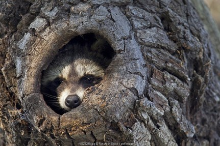 Raccoon (Procyon lotor) in his tree hole, Germany, Saxony, Biosphere Reserve