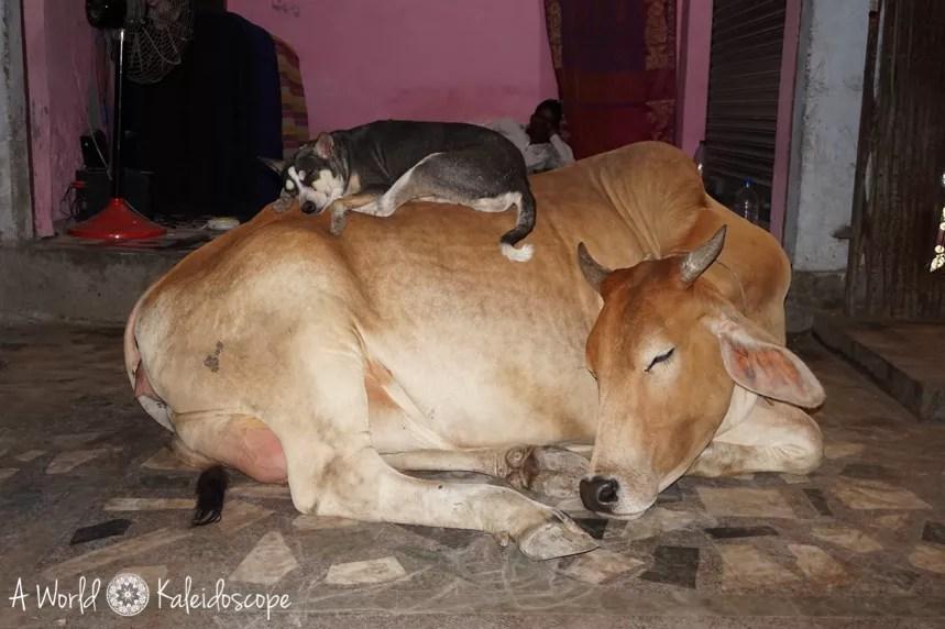 allein-als-frau-indien-kuh-hund