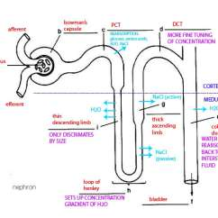 Labelled Diagram Of Xylem And Phloem Fpv Wiring The Kidney Osmoregulation - Ms. Frost A World Biology.....