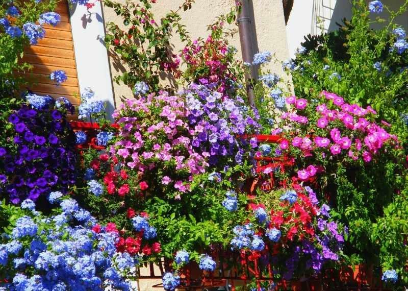 fleurs balcon plein soleil petunias