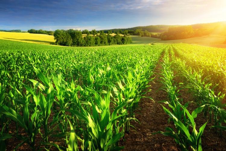campo-mais-agricoltura-paesaggio-campi-by-smileus-fotolia-750.jpeg