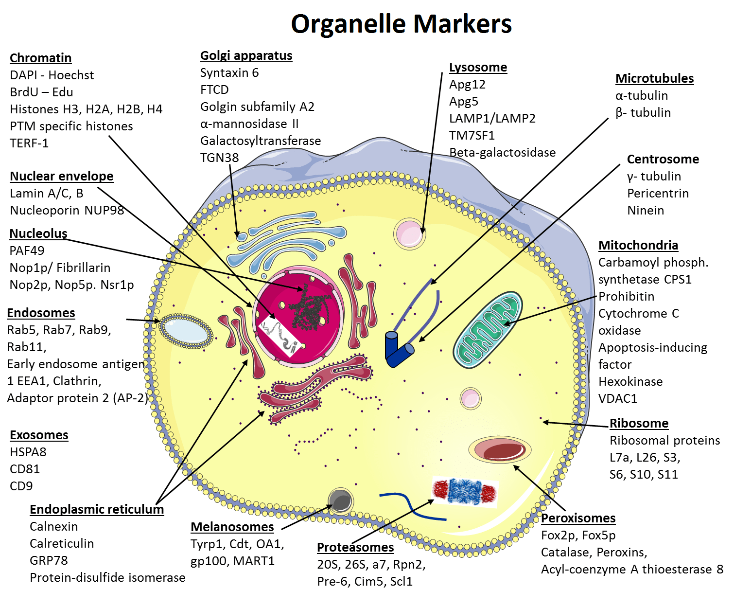 animal cell diagram with functions aem wideband wiring civic organelle markers figure 1