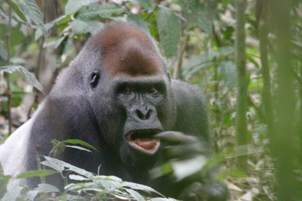 WWF An injured gorilla and a vulnerable ecosystem