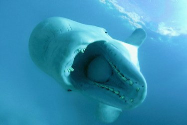 beluga whale wwf whales mouth leucas open baby facts belugas sea kareliya russia delphinapterus its wide arctic length canada population