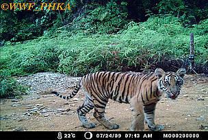 Harimau Sumatera  WWF Indonesia