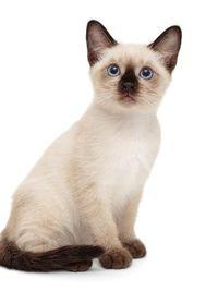 Nama Kucing Yg Bagus : kucing, bagus, Jenis, Kucing, Peliharaan, Populer,, Menggemaskan, Mudah, Dirawat