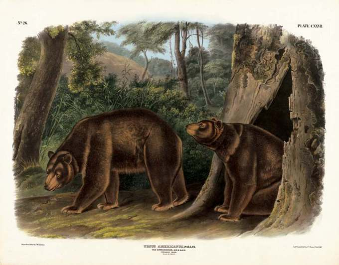Cinnamon bear by J T Bowen after John James Audubon