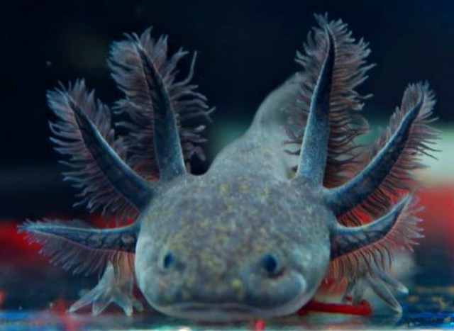 Melanoids Axolotl $40