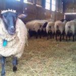 羊(サフォーク種)
