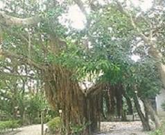 2009/07/04 13:46 ひめゆりの塔にてご立派な大樹。