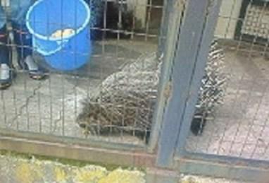 2010/09/11 09:59 アフリカタテガミヤマアラシのモグモグタイム