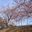3月22日中電変電所の桜