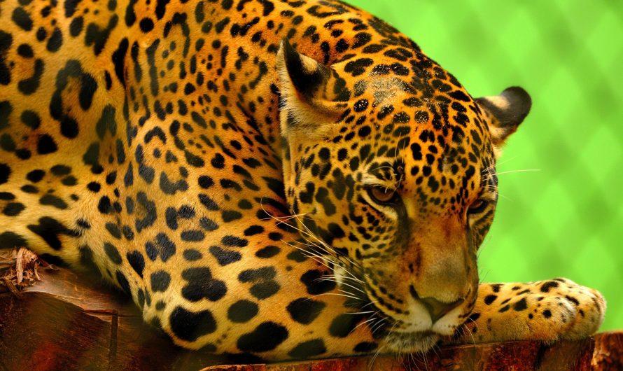 AES anuncia iniciativa para preservar el jaguar en Tamaulipas