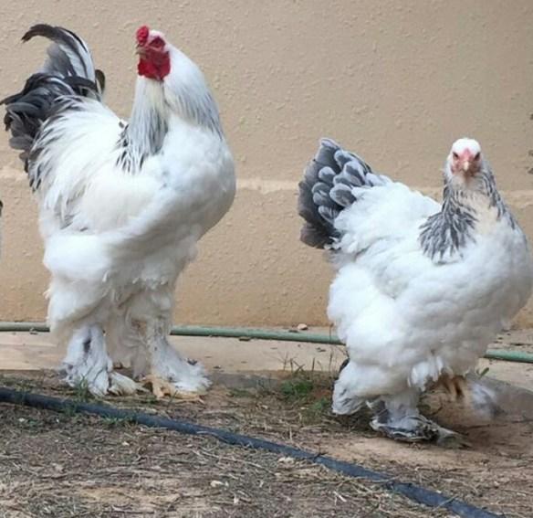 78 Gambar Ayam Brahma HD