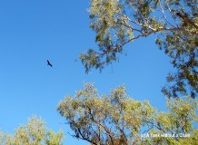 A gorgeous hawk at Mataranka