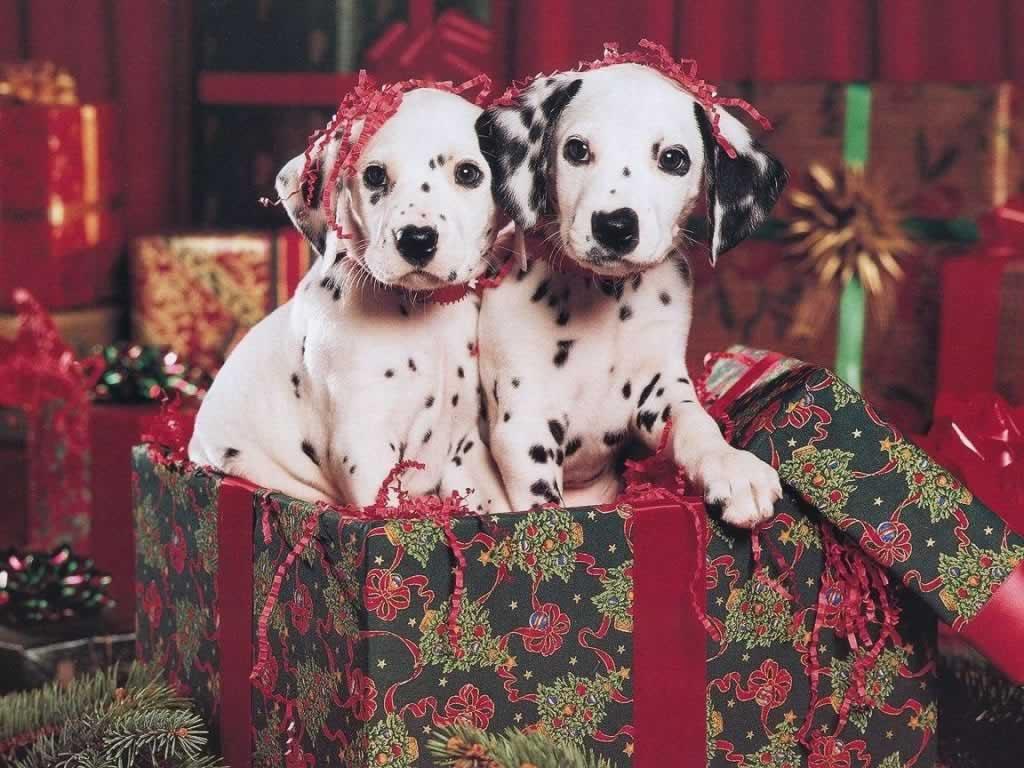 Pug Wallpaper Cute Christmas Animals Photos 2014 نجوم مصرية