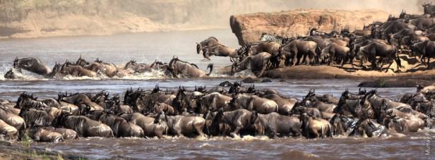 Wildebeest migration, Kenya