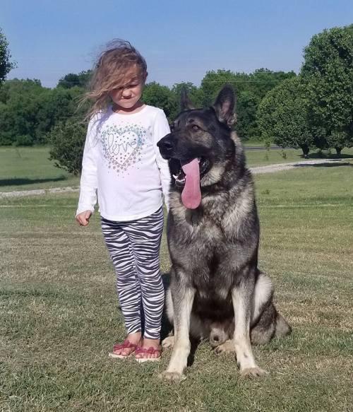 Big German Shepherd In Staggering German Shepherd Dog Blog