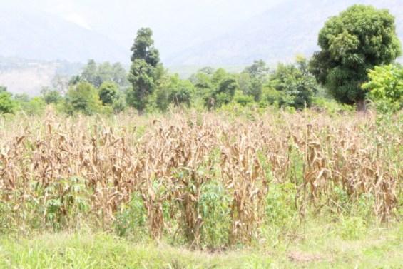 Un champ de mais desséchée dans la zone de Maniche